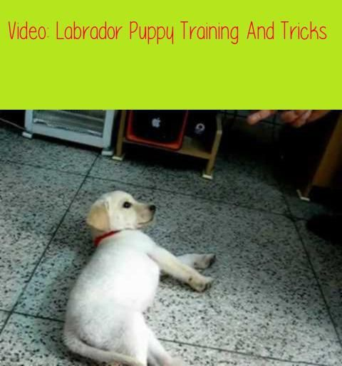 Labrador Puppy Training And Trickstranscript Sit Shake Hand