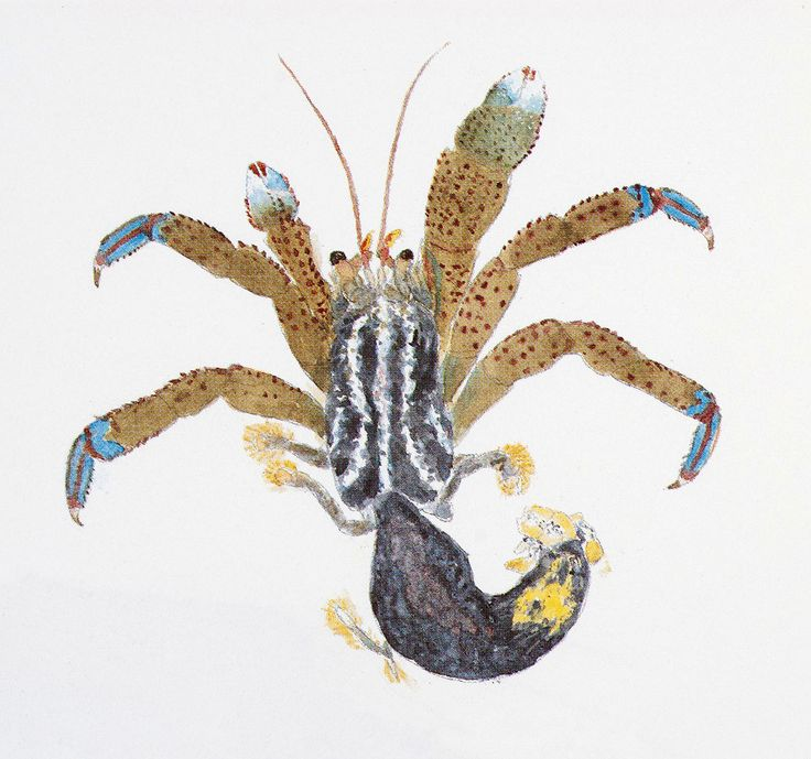 9 mejores imágenes de Hermit Crabs en Pinterest   Cangrejos ...