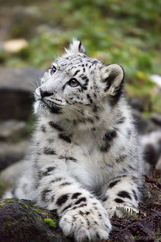 Snow Leopard (6 months old)