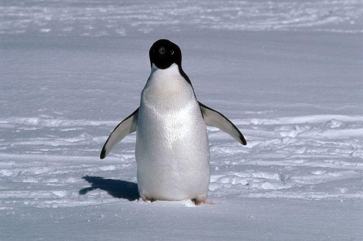 Lone Adelie penguin ( Pygoscelis adeliae ) on sea-ice