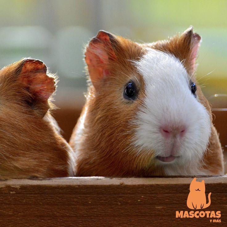 La cobaya americana es la raza de cobaya más común y es la más recomendada si no has tenido nunca una cobaya en casa. ¡Descubre más en mascotasymas.net!