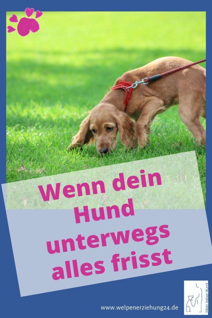 Wie Gewohne Ich Meinen Hund Ab Unterwegs Alles Zu Fressen Hunde Welpen Erziehung Welpenerziehung Und Hunde Erziehen