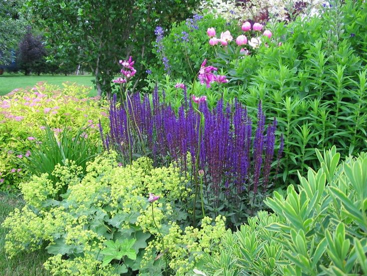"""The purple flowers of Salvia """"Carradonna""""  really shine next to the yellow flowers of Lady's Mantle (Alchemilla mollis)."""