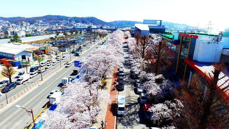 봄꽃축제 앞두고 낙동강 축제길 벚꽃 만개 2(2016.4.5.)