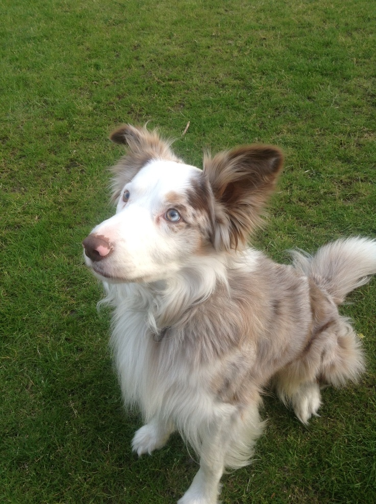Our red merle border collie Rudy.
