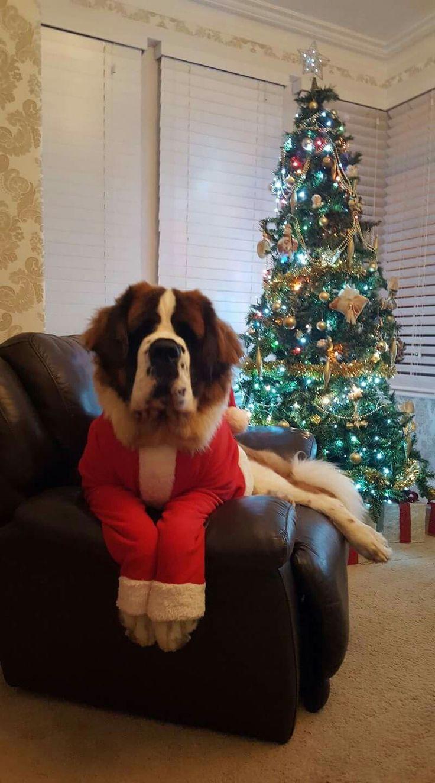 Image result for san bernardo dog, wearing clothes