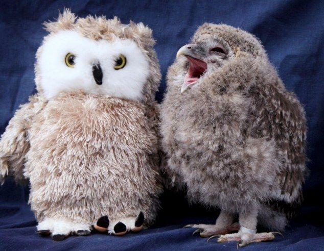 Friend! Tomsk seems delighted to have found a fellow fluffy owl to hang out with at the Scottish Owl Centre