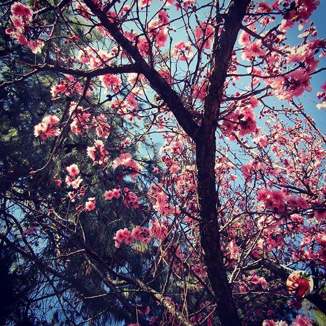 Sydney Cherry Blossom Festival Cherryblossom Sydney Travel Cherry Blossom Festival Cherry Blossom Season
