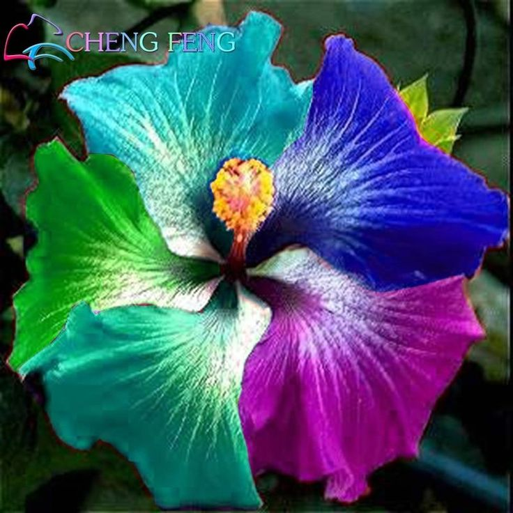 100 Pcs Giant Rainbow Hibiscus Flower Plants Chinese Diy Plant Hibiscus Plants Best Gift For Your Kids Easy Grow Home Garden Bon Shopee Bazar Hibiscus Plant Growing Hibiscus Hibiscus Flowers