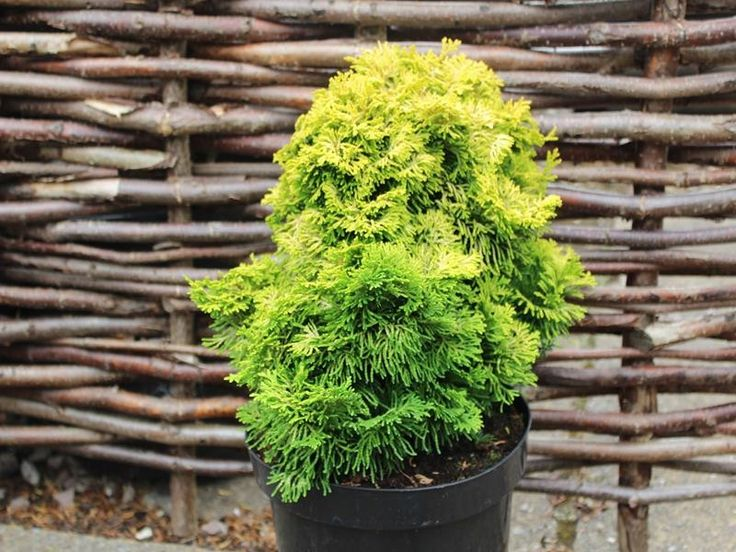 Chamaecyparis obtusa 'Nana Lutea' Hinoki cypress