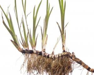 Корни аира – старинное лечебное средство, до сих пор не забытое народной и традиционной медициной. От каких болезней аир болотный нас в состоянии избавить?