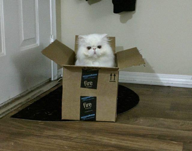 Brimley, the happy rescue persian cat