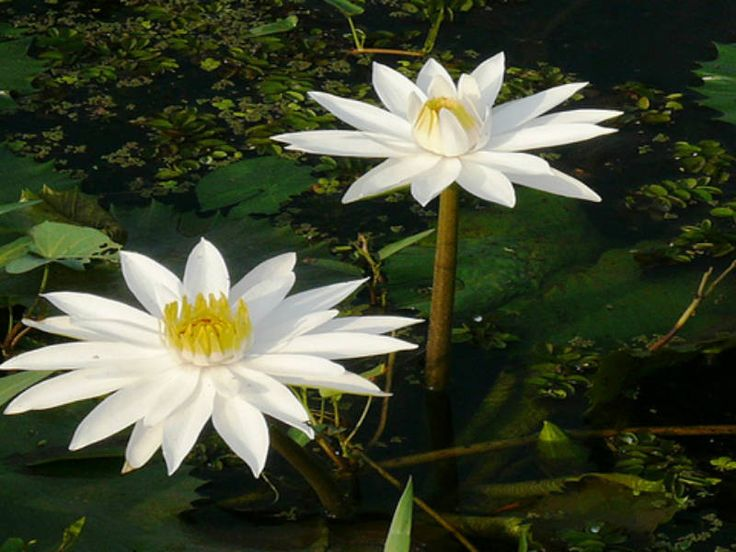 Nymphaea lotus – Tiger Lotus, White Egyptian Lotus  See its profile and more photos here ◢ http://worldoffloweringplants.com/nymphaea-lotus-tiger-lotus-white-egyptian-lotus/