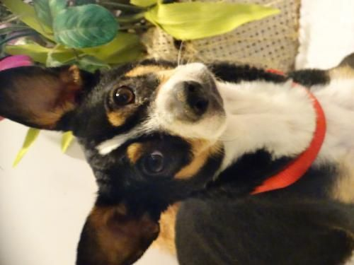 Meet Biscuit, an adoptable Beagle looking for a forever home. If you're looking for a new pet to adopt or want information on how to get involved with adoptable pets, Petfinder.com is a great resource.