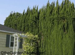 Italian Cypress trees are a familiar staple in the city, growing along border lines as tall screens.  They grow up to 60 feet high on single trunks and are generally 1-2 feet wide but mature plants can be much wider.  All cypresses prefer full sun, but will tolerate part shade and can survive on little water once they are established in a year or two.
