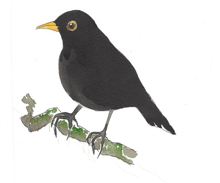Blackbird Male: A6 Card with envelope by sarahNetLtd on Etsy