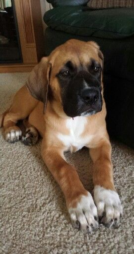Ellie 16 weeks <3 St Bernard/English mastiff mix (St.Bermastiff)
