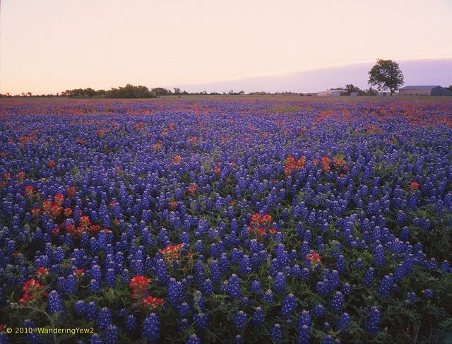 sunrise bluebonnets field - Google Search: Photo