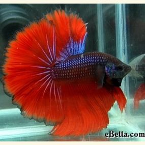 33 best images about tropical fish on pinterest cobalt for Betta fish friends
