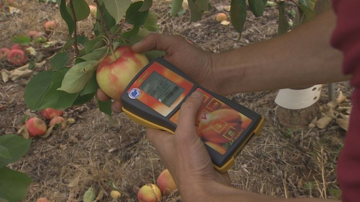 A new hand-held device in Nova Scotia orchards is telling farmers when an apple is perfect for picking.