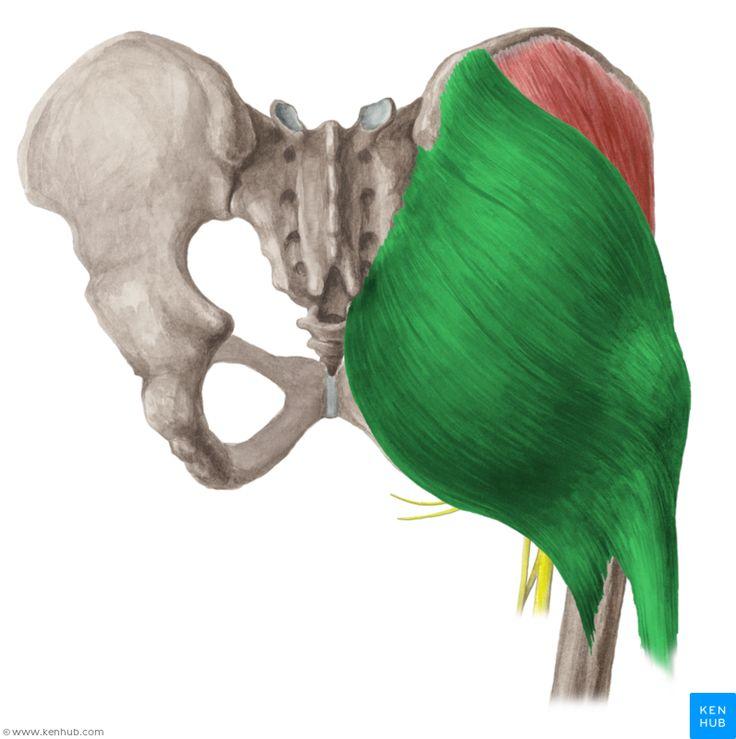 Gluteus maximus muscle (Musculus gluteus maximus)