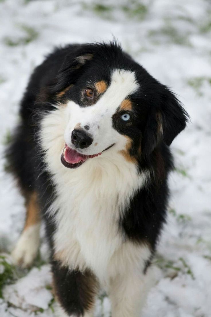 The perfect Australian Shepherd in Black Tri.