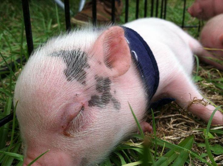 17 Best images about Teacup pigs on Pinterest | Pets ...