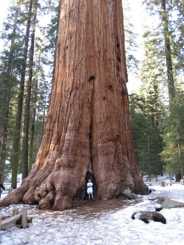 """地球上【もっとも大きな生命体】セコイアデンドロンの巨木「General Sherman (シャーマン将軍の木)」> セコイア国立公園 > 容積1487㎥、高さ274.9フィート(83.8m)、周囲の長さ31.3m、最大の""""枝の"""" 直径2.1m、推定質量1,910t 。動物界最大の「シロナガスクジラ」10匹分。 推定2,700年前〜。"""