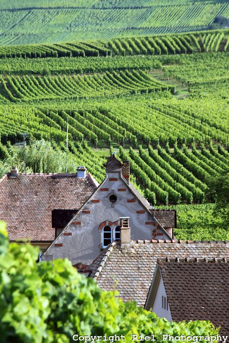 Rustic homes line the beautiful vineyards of the Alsace region in France