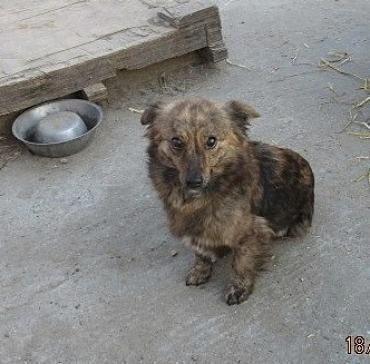 Hund, Mischling klein (Mischling, Hündin, 2 Jahre) Rumänien