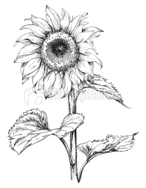 hand drawn vector artwork in pen u0026 ink style of a sunflower