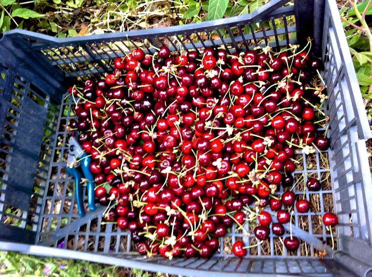 June Cherries Picking - Pelion - Greece