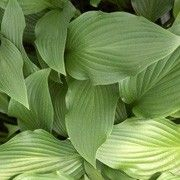 Hosta 'Purple Glory'. Click image to learn more, add to your lists & get care reminders.    Other names: Plantain lily 'Purple Glory', Hosta atropurpurea    Genus: Hosta    Variety or cultivar: 'Purple Glory' _ 'Purple Glory' is a clump-forming, herbaceous perennial forming a mound of broadly lance-shaped to ovate, wavy-margined, veined mid- to light green leaves. Dense racemes of funnel-shaped, purple flowers bloom on tall, slender, red-purple scapes in summer.: Flowers Bloom, Garden Hostas, Hosta Heaven, Hosta P Q R S T, Held Hosta Ge, Hosta Plants, Equals Hostas, Hosta Atropurpurea