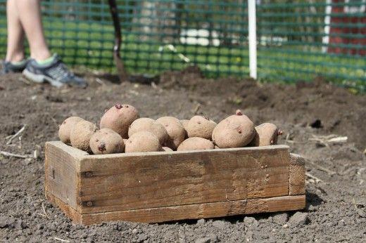 Особенности выращивания картофеля: подготовка и посадка. Как посадить картофель? Фото - Ботаничка.ru