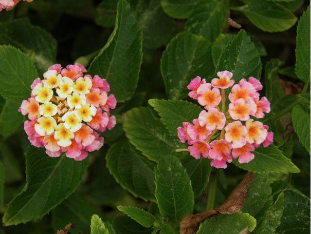 ¡ Rosa y amarillo ! Nos encanta los colores de esta flor llamada Lantana #HosteríaMarySol Pink lantana flower