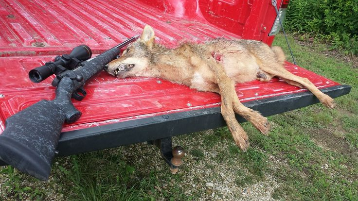 Coyote I shot with my Mark V Accumark 6.5-300 weatherby mag