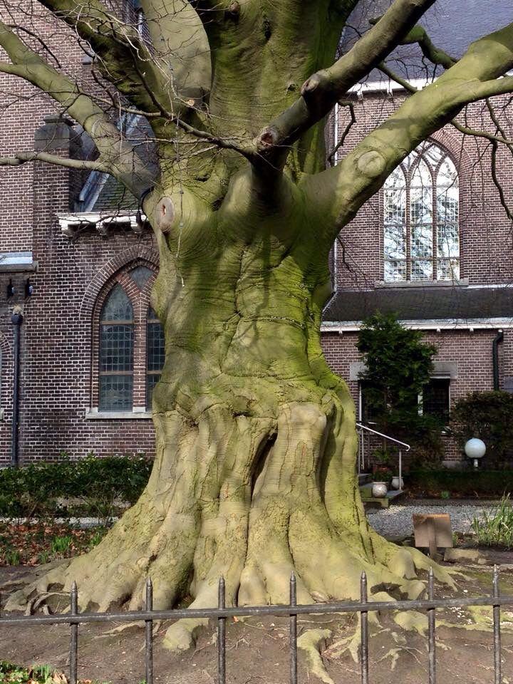 boom bij grote kerk Overschie