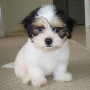 Is a Maltese Shih Tzu Mix the Right Dog for You?
