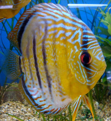 410 best images about discus fish on pinterest auction for Freshwater tropical fish online