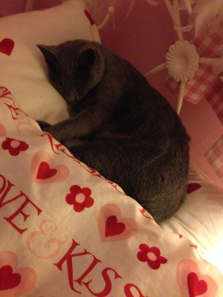 Betty, 11 month old Russian Blue kitten asleep in my daughter's bed. #emmabridgewater