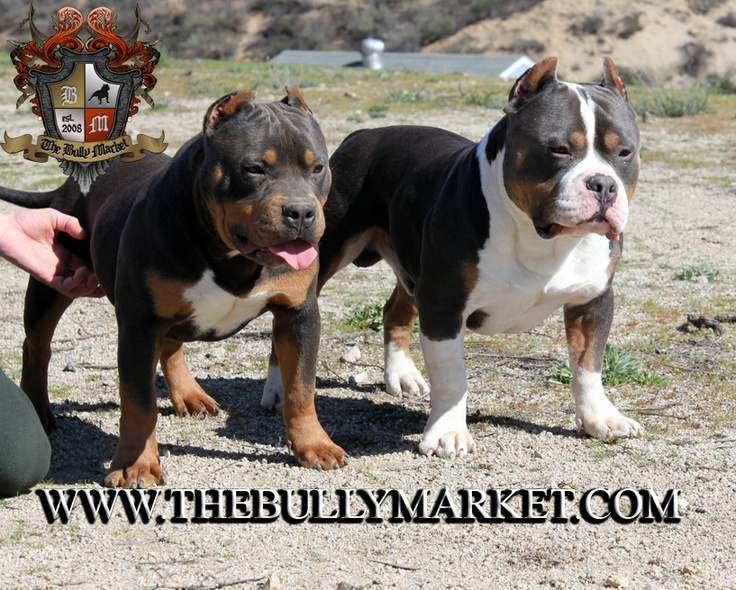 American Bully brothers. Derp and Beastro. Love the tri ...