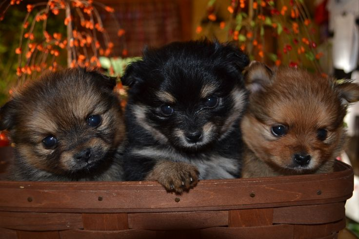 Shih tzu pomeranian mix puppies