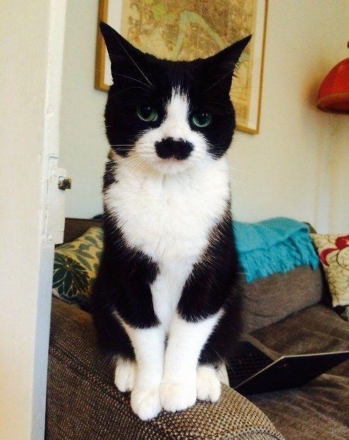 Charlie Chaplin tuxedo cat - isn't he beautiful?