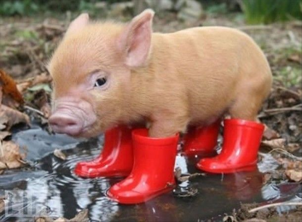 .Awww, the little piggy is getting ready to go to the market on a rainy day. :)