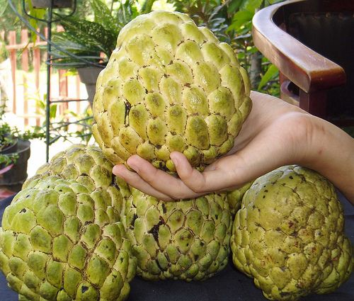 Srikaya Jumbo from Semarang, Indonesia.Srikaya this fruit in indonesia by an expert specialist units. This fruit can reach 1 kg more weight and has a sweet taste, very enjoyable if we could seed the fruit will quickly bear fruit in time 2 - 3 years.