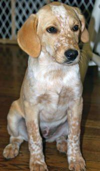 Chloe the Beagle / Lab Mix