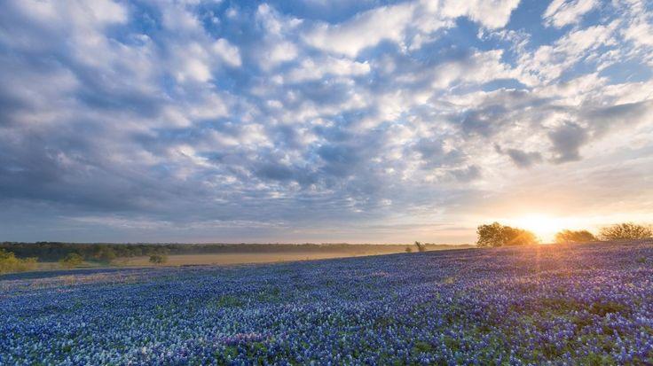 fioritura dei lupini selvatici - Texas