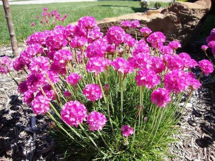 Армерия приморская (Armeria maritima)  Многолетние растения, цветущие с начала и до конца лета