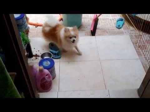 Cara Menangkap Anjing Kita Yang Lepas - YouTube