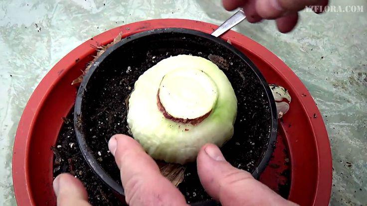 разрез взрослой луковицы, растущей в горшке дал до 30 деток